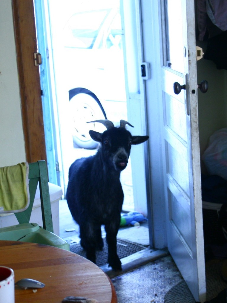 goatinthekitchen