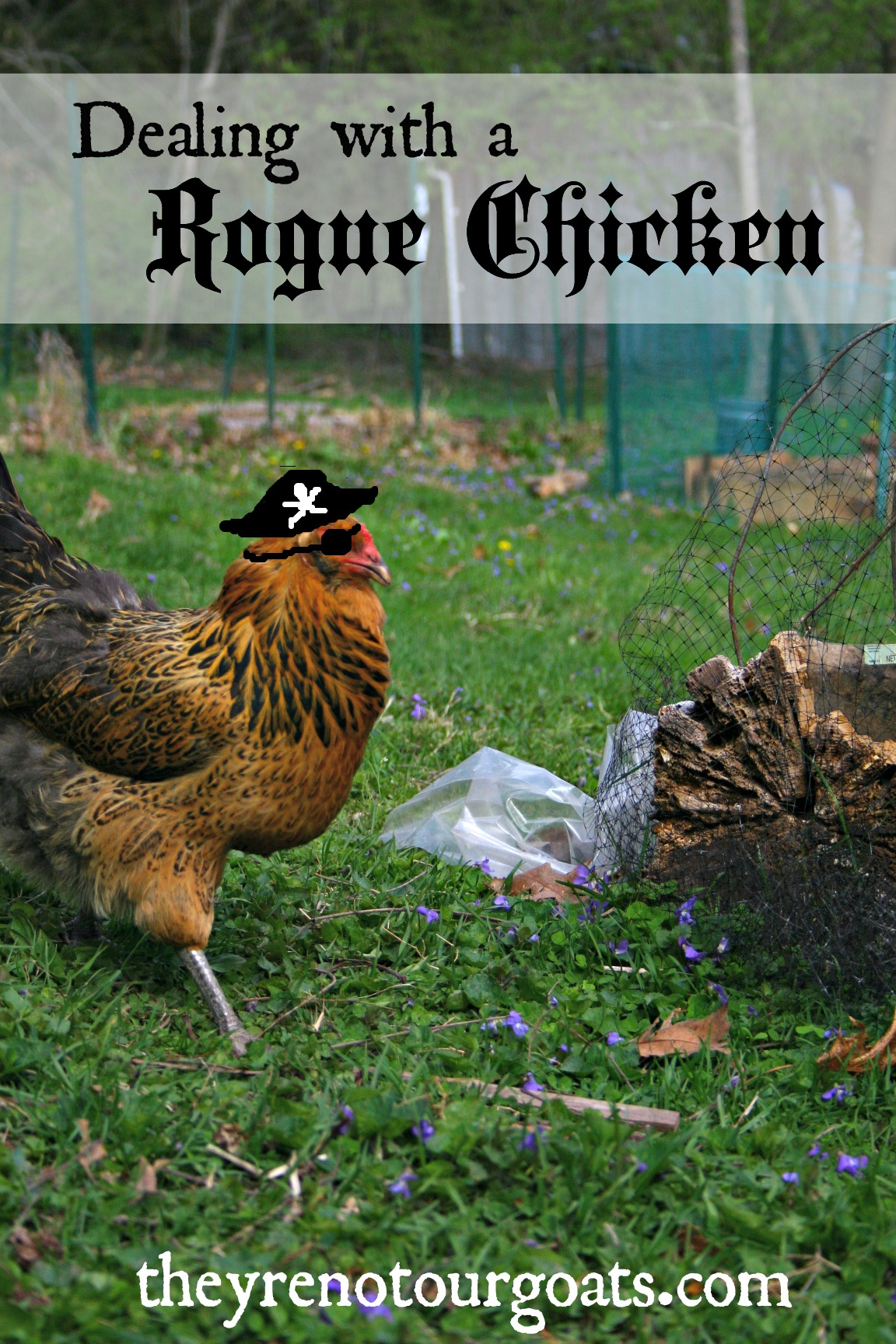 Dealing with a Rogue Chicken- How we took control of one hen gone wild.
