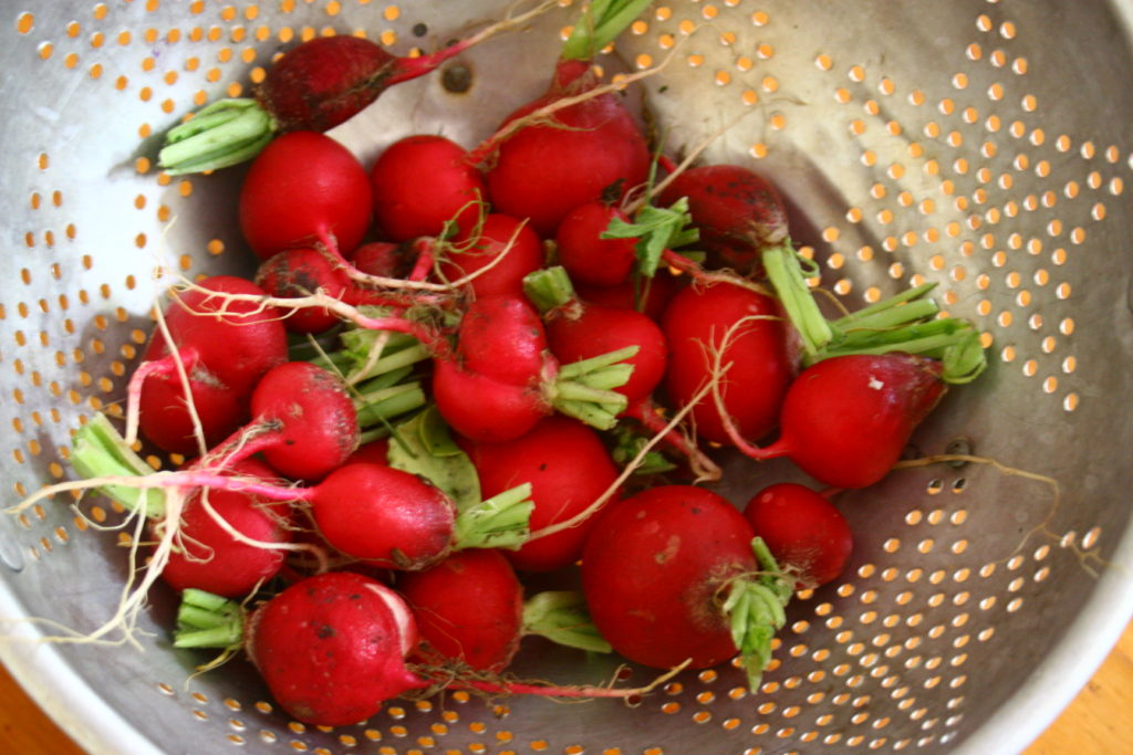 Fresh radishes from the garden, going to be turned into a compound radish-butter.
