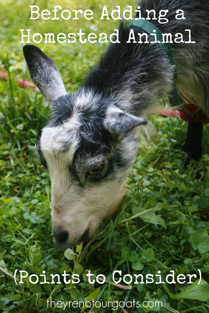 Here are some points to consider before you decide to buy a homestead animal.