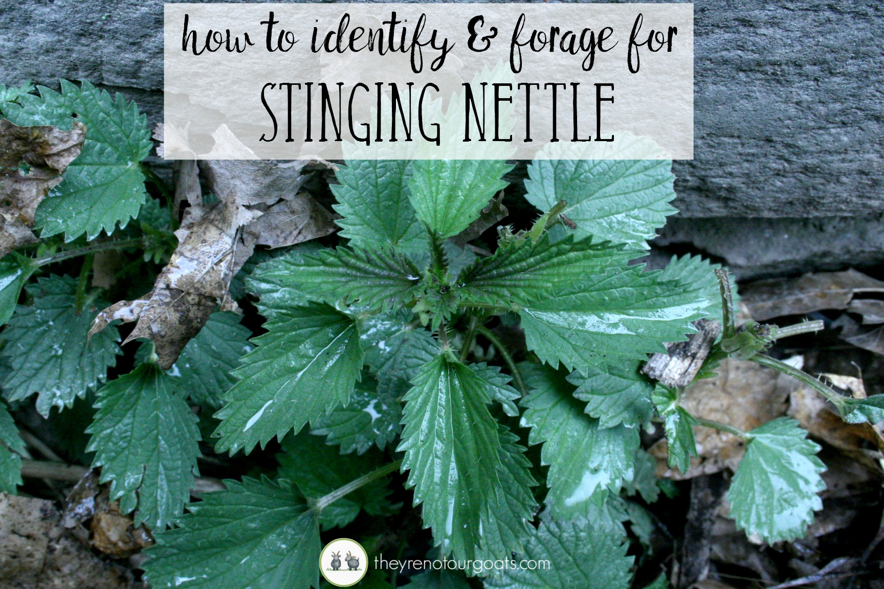 Find out how to forage for stinging nettle!
