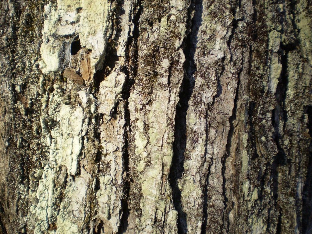 Sugar maple bark