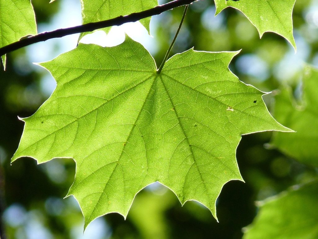 Green sugar maple leaf