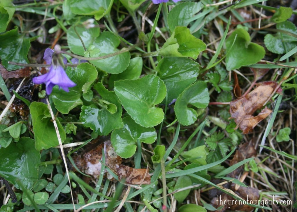 Curled, heart shaped leaves of the wild violet flower.