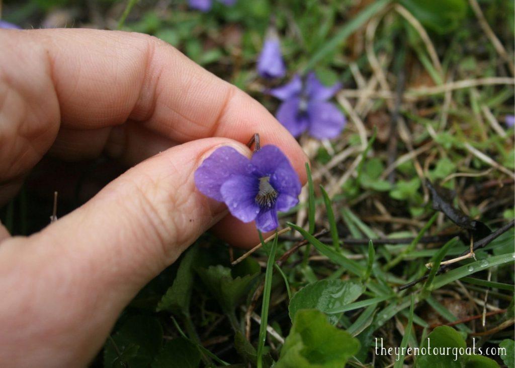 Wild violet in the grass.